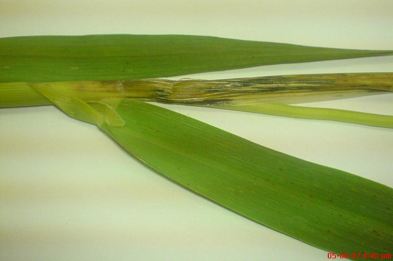 Disease in oats is a major problem for farmers